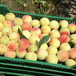 Gyümölcsfa vásárlás.