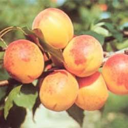 Gyümölcsfa vásárlás - Gyümölcsfa vásárlás.hu. Gyümölcsfák, bogyósok, különleges gyümölcsök áruháza.