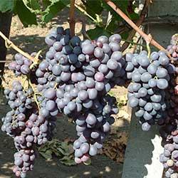 Mag nélküli csemegeszőlők